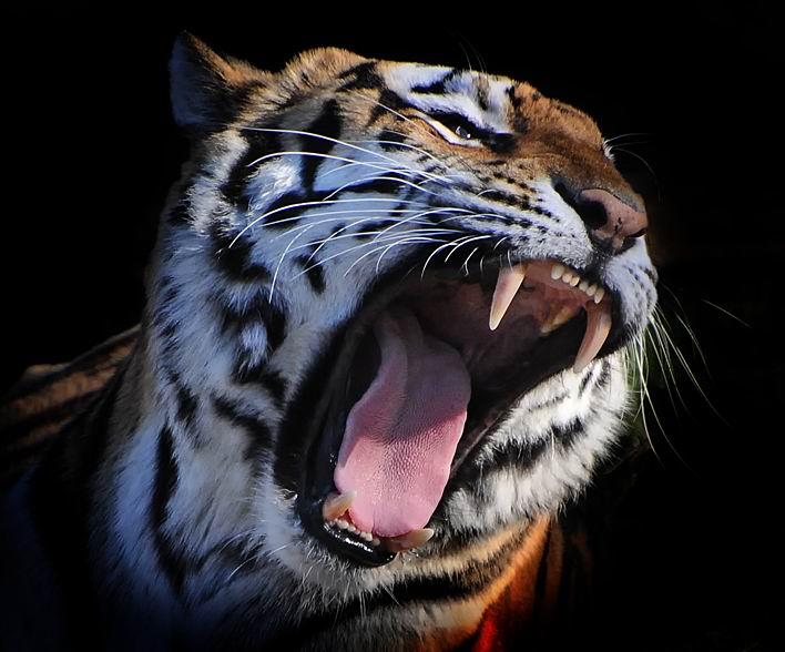 北京野生动物园老虎伤人事件全解析